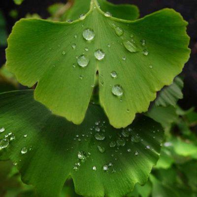 GInkgo Leaf After Rain Rhodium inspiration