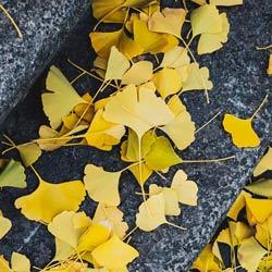 yellow ginkgo leaf